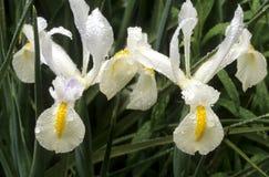 Wilde iris in park Stock Afbeeldingen