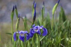Wilde Iris und Knospen, Neufundland Stockbild