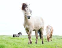 Wilde isländische Pferde Stockfoto
