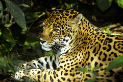 Wilde jaguar Stock Foto's