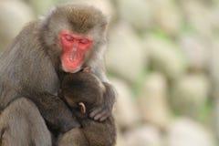 Wilde japanische Affen, die in Beppu, Oita sich umarmen Lizenzfreie Stockbilder