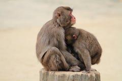 Wilde japanische Affen, die in Beppu, Oita sich umarmen Stockfotografie