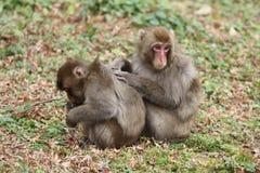 wilde japanische Affen Pflegens in Beppu, Oita Stockbilder