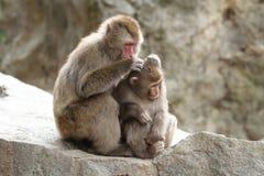 wilde japanische Affen Pflegens in Beppu, Oita Stockfotos