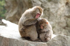 wilde japanische Affen Pflegens in Beppu, Oita Lizenzfreies Stockfoto
