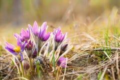 Wilde Jonge Pasqueflower in de Vroege Lente Bloemen Pulsatilla Patens Stock Foto's