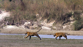 Wilde jonge tijgers, het Nationale Park van Bardia, Nepal Royalty-vrije Stock Fotografie