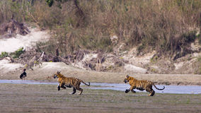 Wilde junge Bengal-Tiger, Nationalpark Bardia, Nepal Stockfotos