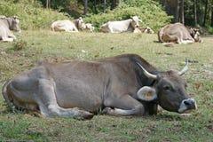 Wilde Kühe Stockbilder