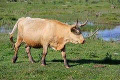 Wilde Kühe, die Gras in der Wiese durch den Engure See weiden lassen und essen Lizenzfreies Stockfoto