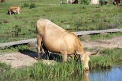 Wilde Kühe, die Gras in der Wiese durch den Engure See weiden lassen und essen Stockfoto