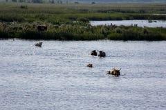 Wilde Kühe, die im Engure See, Lettland schwimmen Lizenzfreies Stockbild