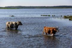 Wilde Kühe, die im Engure See, Lettland schwimmen Stockfotos