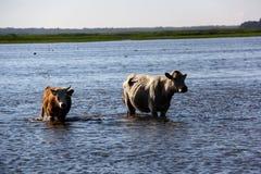 Wilde Kühe, die im Engure See, Lettland schwimmen Stockfoto