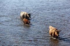 Wilde Kühe, die im Engure See, Lettland schwimmen Lizenzfreies Stockfoto