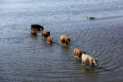Wilde Kühe, die im Engure See, Lettland schwimmen Lizenzfreie Stockbilder