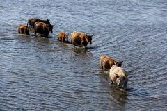 Wilde Kühe, die im Engure See, Lettland schwimmen Lizenzfreie Stockfotos