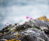 Wilde Küstenblumen Stockfotos