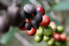 Wilde Kaffeebohnen stockfotografie