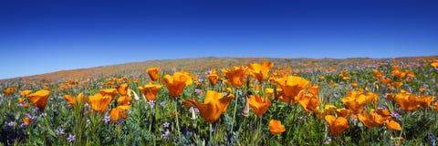 Wilde Kalifornien-Mohnblumen Stockfoto