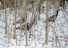 Wilde kalkoenen in het hout Royalty-vrije Stock Afbeeldingen