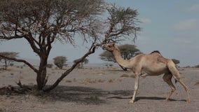Wilde kameel stock video