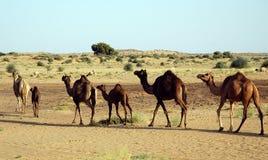 Wilde kameel. Royalty-vrije Stock Fotografie