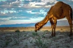 Wilde kameel in Kazakstan, het wild, steppe Stock Afbeelding