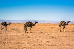 Wilde Kamele in der Wüste Sahara im Erg Chigaga, Marokko stockbild