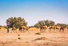 Wilde Kamele in der Wüste Sahara im Erg Chigaga, Marokko stockbilder