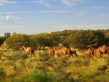 Wilde Kamele im Hinterland von Australien lizenzfreie stockbilder