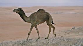 Wilde kamelen in de woestijn stock videobeelden