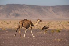 Wilde Kamelen in de woestijnen van Saudi-Arabië Stock Foto