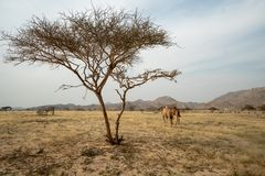 Wilde kamelen op weide in Taif-Gebied, Saudi-Arabië royalty-vrije stock afbeelding
