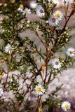 wilde Kamille auf dem Gebiet Stockfoto
