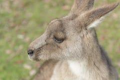 Wilde Kangoeroe in Australië royalty-vrije stock fotografie