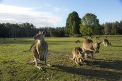 Wilde Kangoeroe in Australië stock fotografie