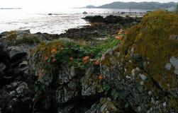 Wilde Kapuzinerkäse, die auf der Insel von Jura wachsen Lizenzfreies Stockbild