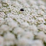 Wilde Karotte, Apiaceae Lizenzfreie Stockfotos