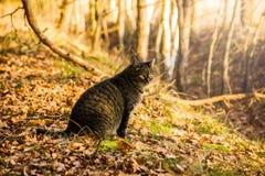 Wilde kat in de herfstbos royalty-vrije stock afbeelding