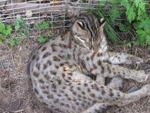 Wilde kat in een dierentuinkooi stock afbeelding