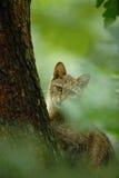 Wilde Kat, Felis-silvestris, dier in de bosdiehabitat van de aardboom, in de boomboomstam wordt verborgen, Midden-Europa Het wild royalty-vrije stock afbeelding