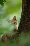 Wilde Kat, Felis-silvestris, dier in de boshabitat van de aardboom, Midden-Europa Royalty-vrije Stock Foto