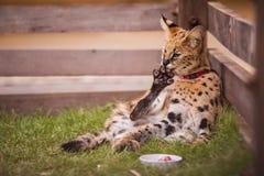 Wilde kat in gevangenschap stock foto's