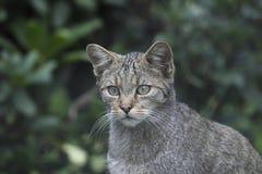 Wilde kat in het wildpark stock foto