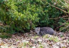 Wilde kat in hinderlaag op een jacht in het park van Boedapest, Hongarije royalty-vrije stock fotografie