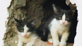 Wilde katjes in muurhiaat uit en spel die eruit zien stock footage