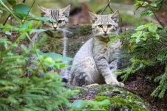Wilde katten Royalty-vrije Stock Afbeeldingen