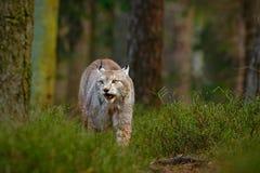 Wilde kattenlynx in de aard boshabitat Europees-Aziatische Lynx in het bos, dat in het gras wordt verborgen Leuke lynx in de de h Royalty-vrije Stock Fotografie