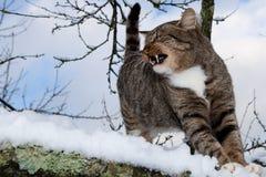 Wilde Katze Lizenzfreie Stockfotos